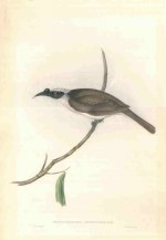 Crescent Honeyeater, Silver-Crowned Friar Bird and Fuscous Honeyeater, all with repaired tears. No letterpresses and Crescent Honeyeater trimmed.